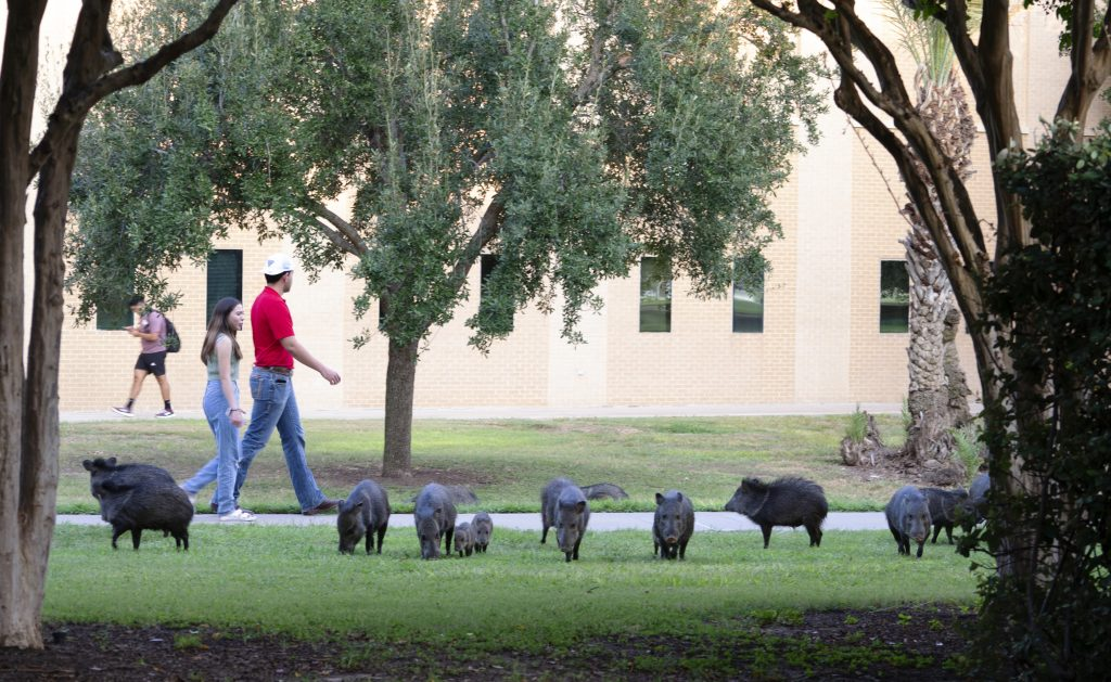 Squadron of javelinas as students walk by